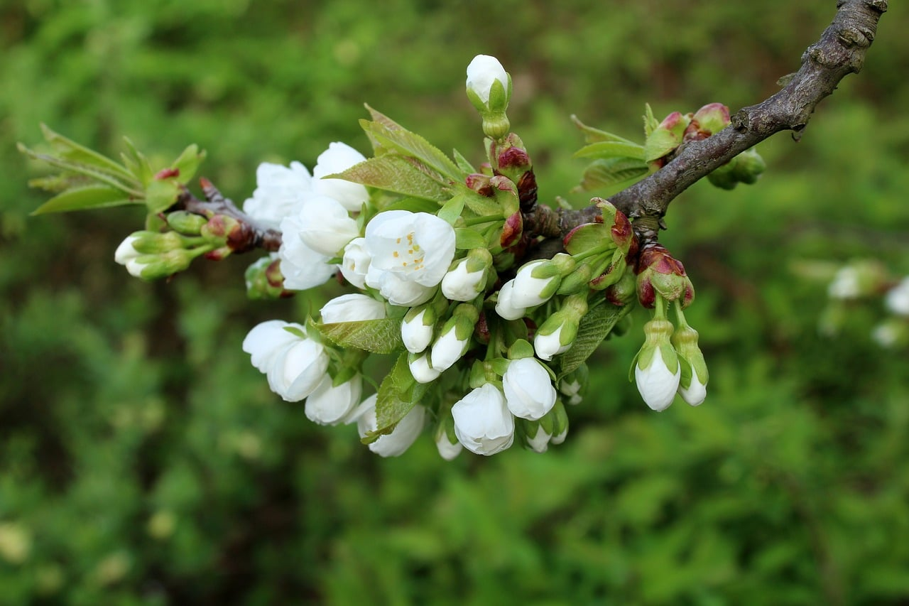 Czereśnia jako drzewo ozdobne liściaste w ogrodzie