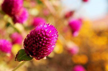 Kwiat amarantusa