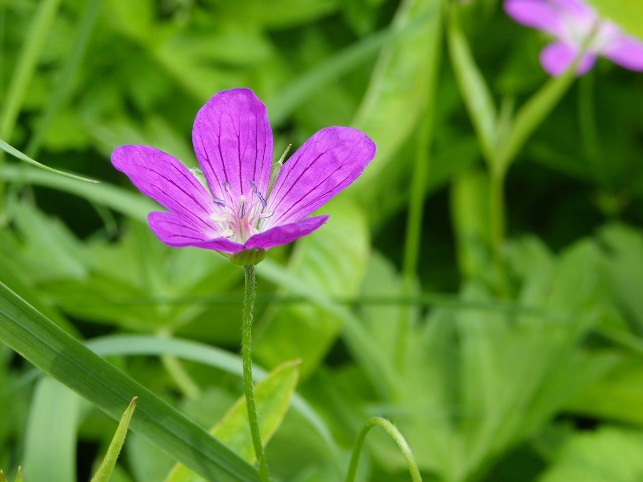 Trujący fioletowy chwast Kąkol polny