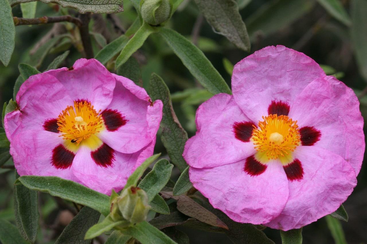Kwiat czystka i jego właściwości zdrowotne