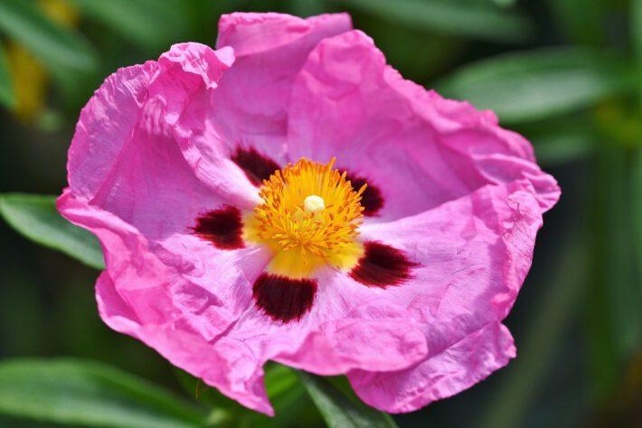 Różowy kwiat czystka o wspaniałych właściwościach zdrowotnych