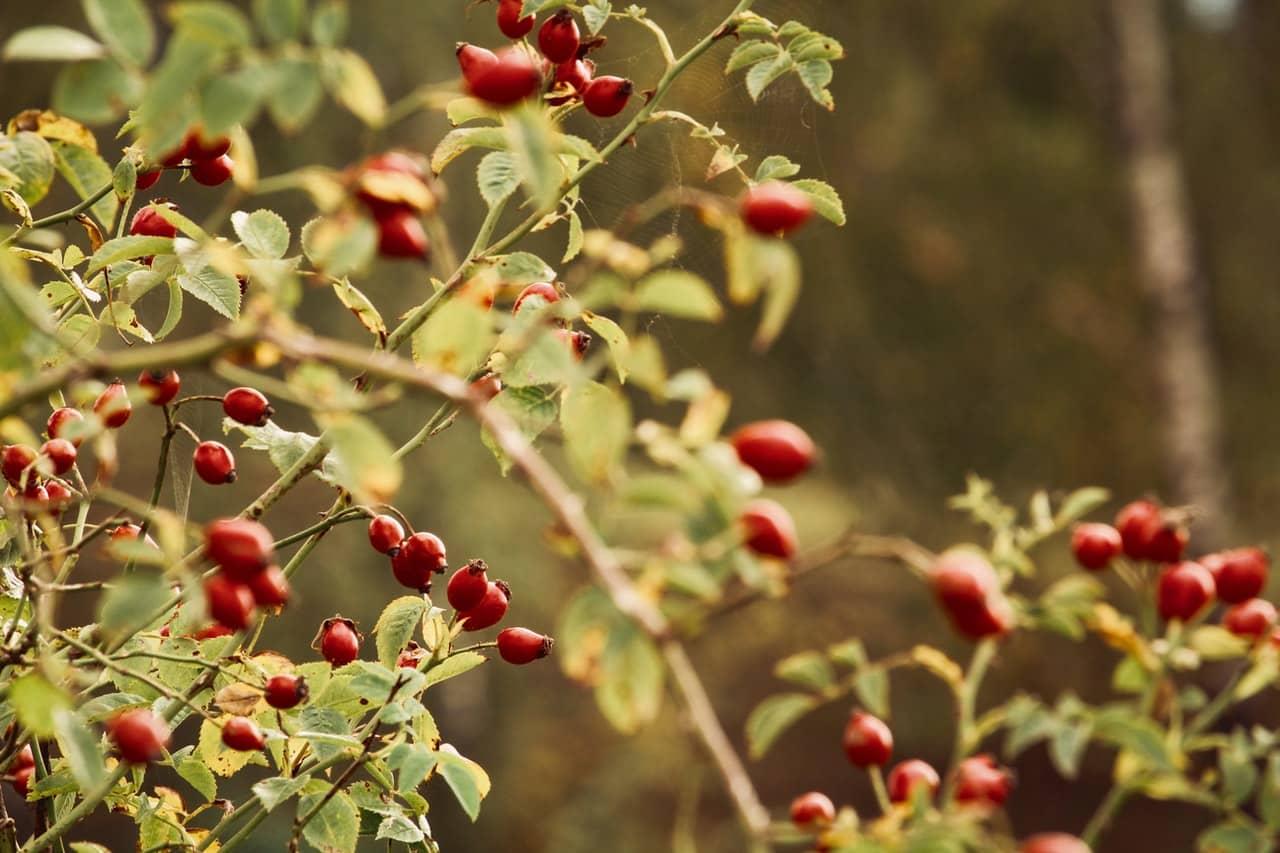Owoce na nalewkę z dzikiej róży