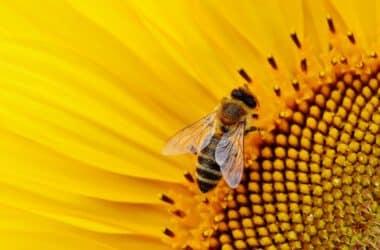 psczola na kwiatku
