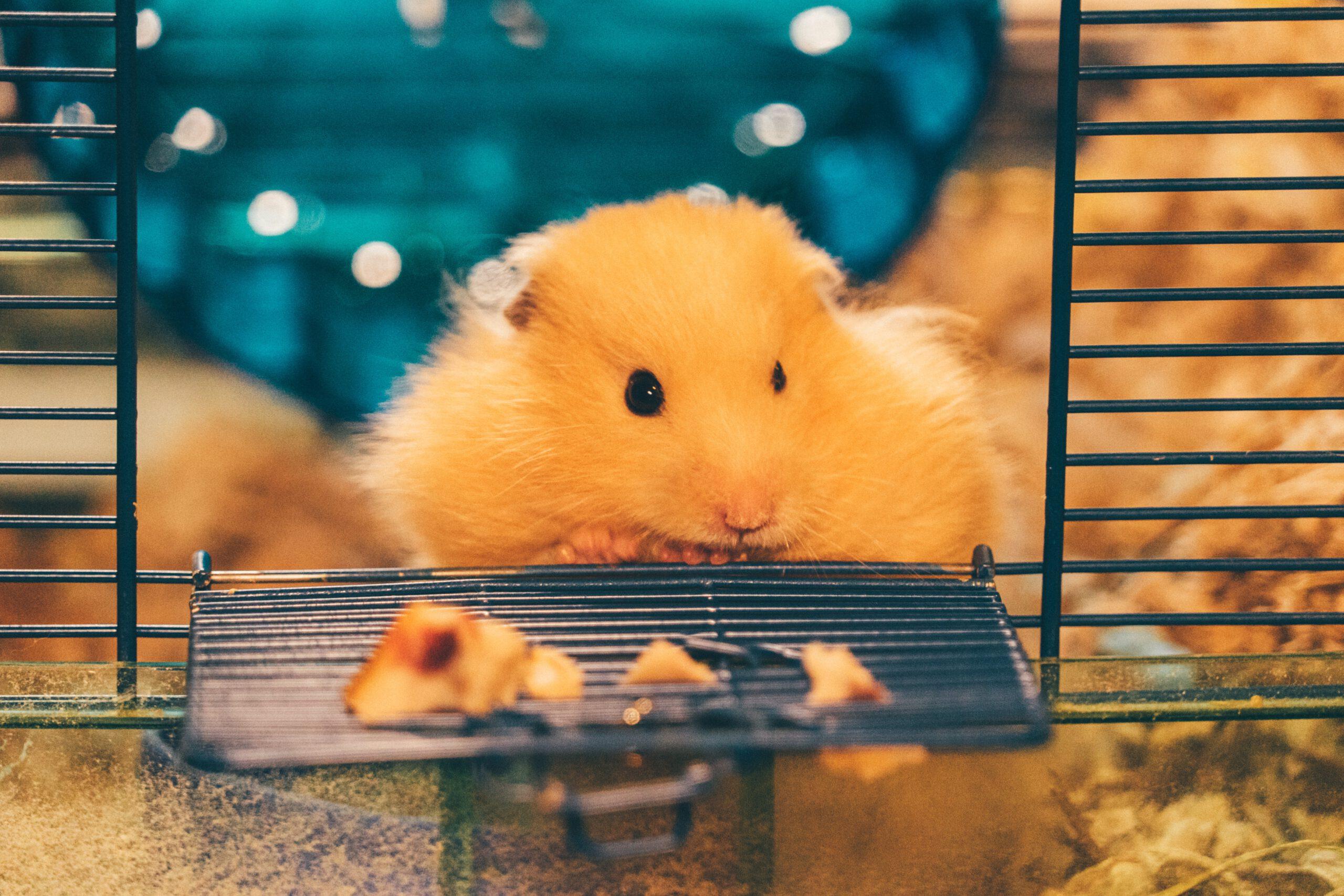 Klatka dla szczura - o tych rzeczach musisz pamiętać