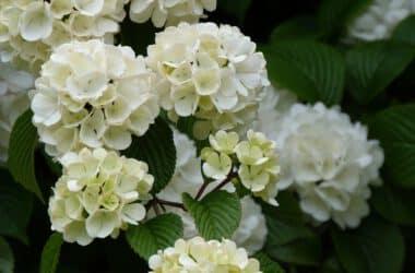 Biały kwiat kaliny koralowej