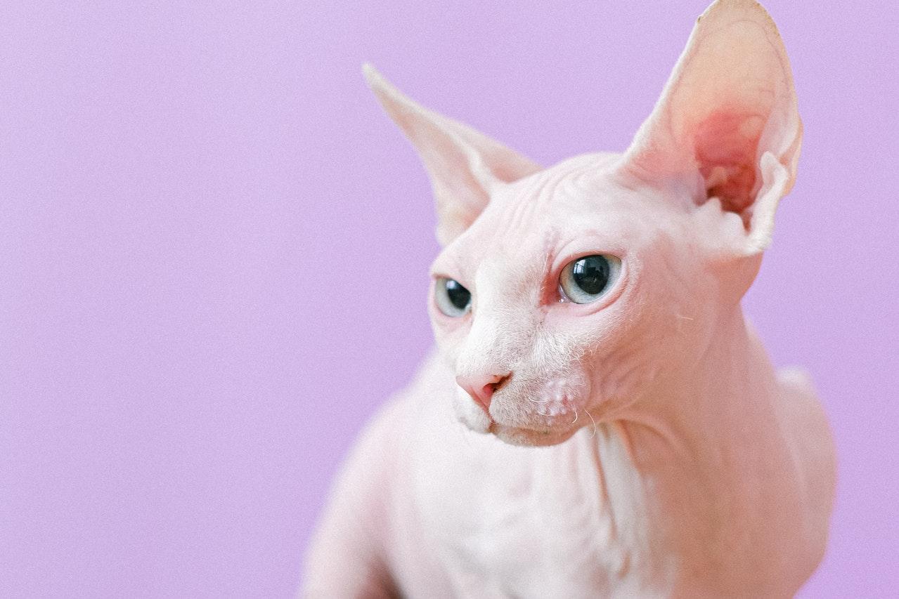 Kote bez sierści